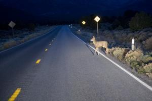 animal in the road causing car accident